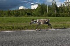 斯堪的纳维亚驯鹿 免版税库存图片