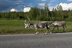 斯堪的纳维亚驯鹿 库存图片