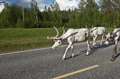 斯堪的纳维亚驯鹿 免版税库存照片