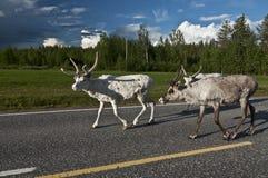 斯堪的纳维亚驯鹿 图库摄影