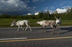 斯堪的纳维亚驯鹿 库存照片