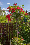斯塔姆红色玫瑰在庭院里 免版税图库摄影
