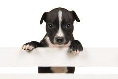 斯塔福德垂悬在一个白色木板箱的狗小狗 免版税库存照片