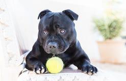 斯塔福德郡与球lokking的杂种犬狗逗人喜爱 库存图片