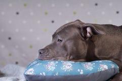 斯塔福德郡在演播室的狗potrait 库存图片