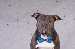 斯塔福德郡在演播室的狗potrait 免版税库存照片
