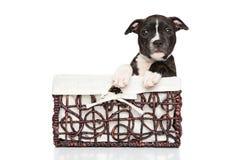 斯塔福德郡在篮子的杂种犬小狗 免版税库存照片