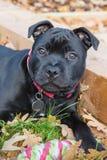 斯塔福德郡杂种犬小狗画象 免版税库存图片