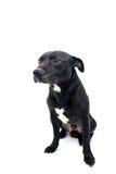 斯塔福德郡杂种犬演播室射击 库存图片
