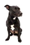 斯塔福德郡杂种犬演播室射击 免版税库存图片