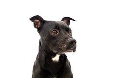 斯塔福德郡杂种犬演播室射击 免版税库存照片