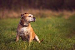 斯塔福德郡杂种犬 免版税库存图片
