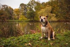 斯塔福德郡杂种犬 免版税库存照片