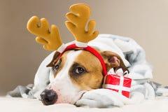 斯塔福德郡狗小狗画象在投掷毯子和与驯鹿圣诞节玩具垫铁在床上与新年礼物 免版税库存照片