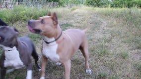 斯塔福德郡狗狗被训练和步行 股票录像