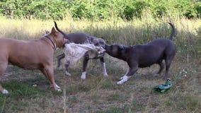 斯塔福德郡狗狗被训练和步行 股票视频