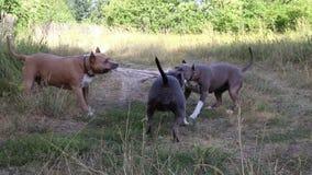 斯塔福德郡狗狗被训练和步行 影视素材