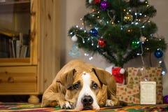 斯塔福德郡说谎在圣诞树dront的地毯的狗狗  库存照片