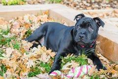 斯塔福德郡说谎在草和叶子的杂种犬小狗 免版税库存照片