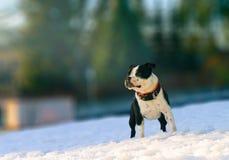斯塔福德郡bullterier在冬天晴天 图库摄影