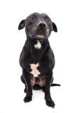 斯塔福郡杂种犬演播室射击 免版税库存图片