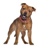 斯塔福郡杂种犬,与红色衣领的9个月 免版税库存照片
