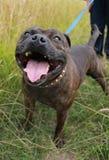 斯塔福郡杂种犬 库存照片