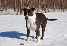斯塔福郡狗 库存图片