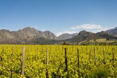 斯泰伦博斯接近开普敦,南非的酒区域 免版税库存照片