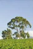 斯泰伦博斯酒区域葡萄园,在开普敦外面,南非 免版税库存图片