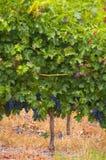 斯泰伦博斯,葡萄酒增长区域的心脏在南Afri的 免版税库存照片