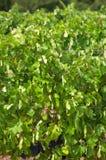 斯泰伦博斯,葡萄酒增长区域的心脏在南Afri的 库存图片
