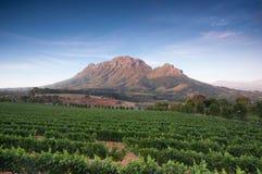 斯泰伦博斯,葡萄酒增长区域的心脏在南Afri的 免版税库存图片
