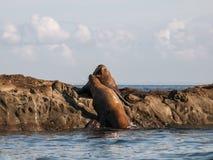 斯特勒海狮侵略 免版税库存图片