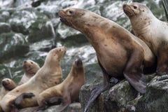 斯特勒海狮坐一个岩石海岛在海洋 免版税库存图片