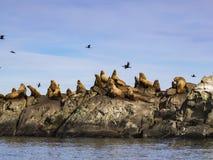 斯特勒海狮海狮jubatus牧群  免版税库存照片