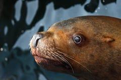 斯特勒海狮(海狮jubatus) 免版税图库摄影