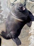 斯特勒海狮 免版税库存照片
