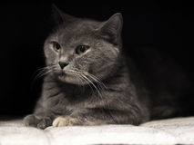 彻斯特猫画象  库存照片