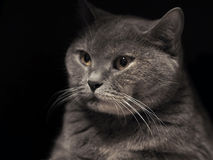 彻斯特猫 免版税库存图片