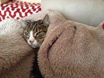 彻斯特猫 免版税库存照片