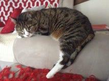 彻斯特虎斑猫 免版税库存图片