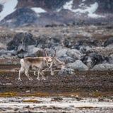 斯瓦尔巴特群岛驯鹿 免版税库存照片