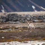 斯瓦尔巴特群岛驯鹿 免版税图库摄影