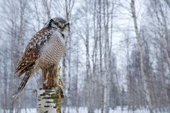 斯诺伊与鹰猫头鹰,鹰似猫头鹰ulula的冬天场面 在冷的冬天期间,鹰猫头鹰在自然森林栖所 从自然的野生生物场面 免版税库存图片