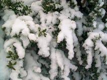 斯诺伊冬天布什 库存照片