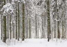 斯诺伊冬天森林白色雪在冷的冷淡的森林冬天背景中 库存照片
