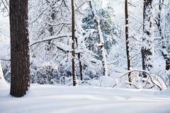 斯诺伊冬天森林背景 冷天场面,积雪的树环境美化 免版税库存图片