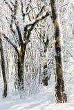 斯诺伊冬天森林,季节性自然场面 图库摄影