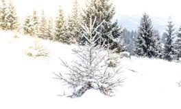 斯诺伊冷杉木冬天背景 库存照片